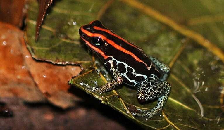 Human threats to the amphibian tree of life