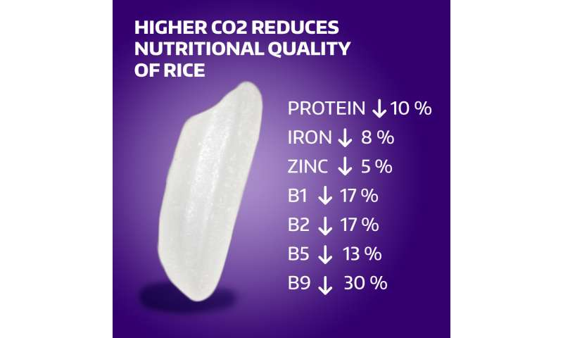 Increasing CO2 levels reduce rice's nutritional value