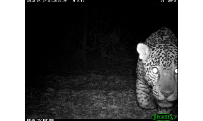 Jaguars and well-managed logging concessions can coexist, say conservationists
