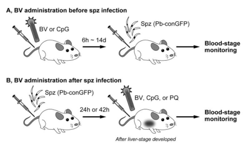 Killing the liver-stage malaria parasite with baculovirus: a drug discovery approach