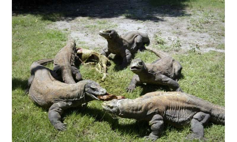 Komodo dragons are powerful carnivores that dominate their eco system