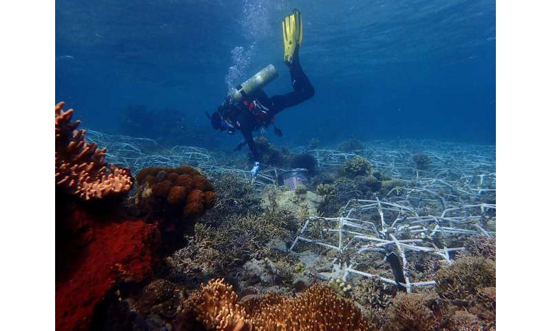 Large stretches of coral reefs can be rehabilitated