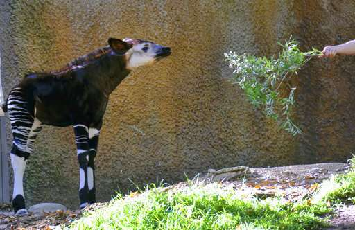 Los Angeles Zoo puts baby okapi on display