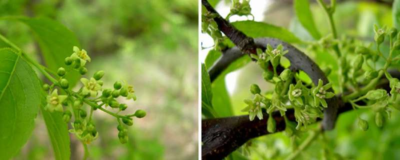 Many Midwestern retailers sell mislabeled invasive vines