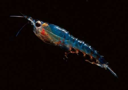 Market squid tell a tale of two krill