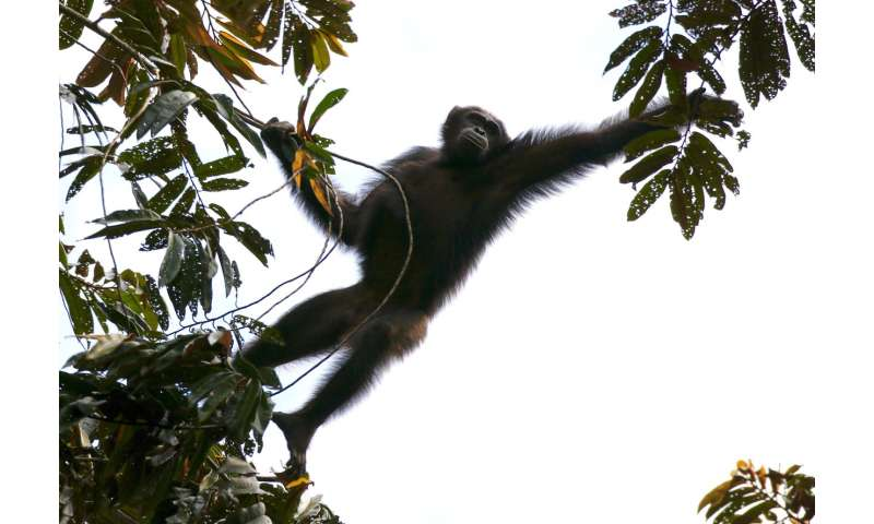 Massive study across western equatorial Africa finds more gorillas and chimpanzees than expected
