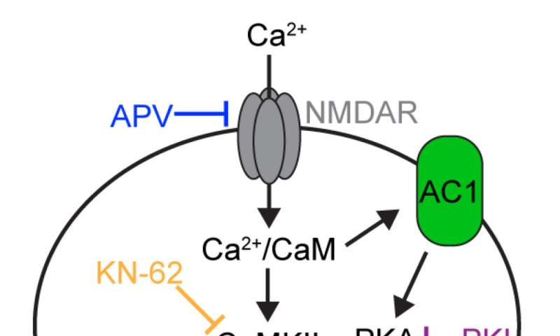 Memory molecule limits plasticity by calibrating calcium