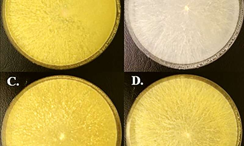 Moulds produce plant growth hormone