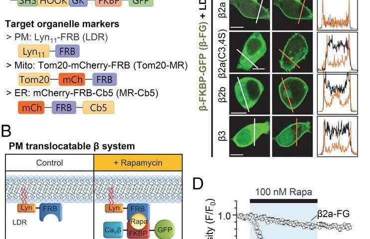 New study uncovers the interaction of calcium channels