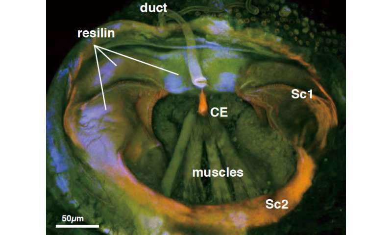 Novel switching valve to receive more semen in a sex-role reversed cave insect