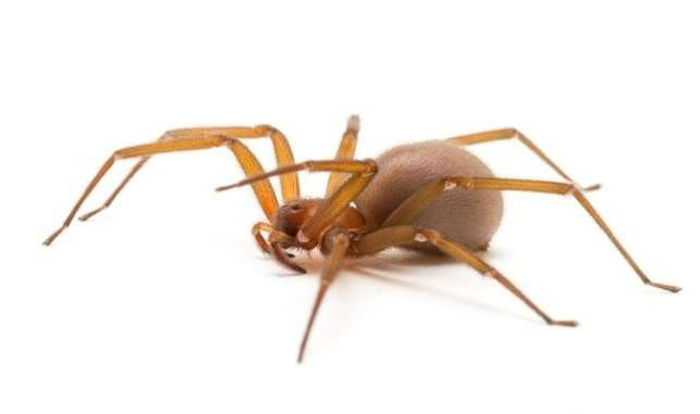 Ointment to counter the effects of brown recluse spider bites is tested on humans