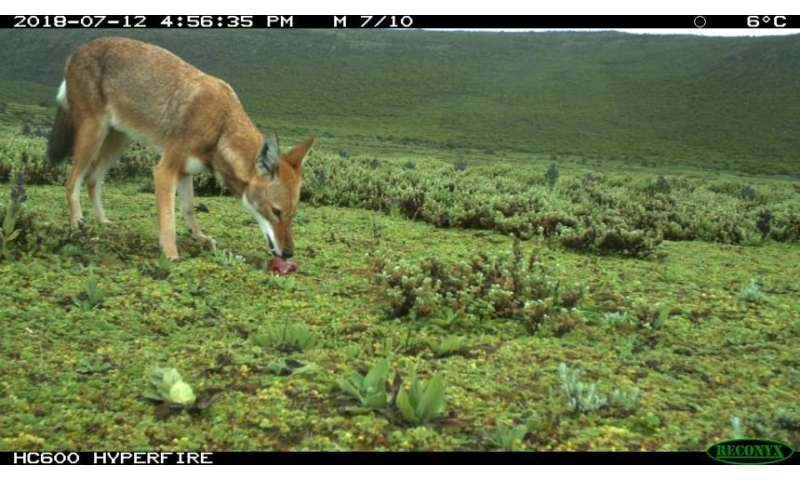 Oral vaccination protects Africa's most endangered carnivore