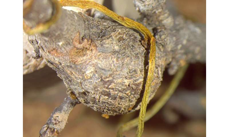 Parasitic love vine tangles with gall wasps, sucking the life out of their young