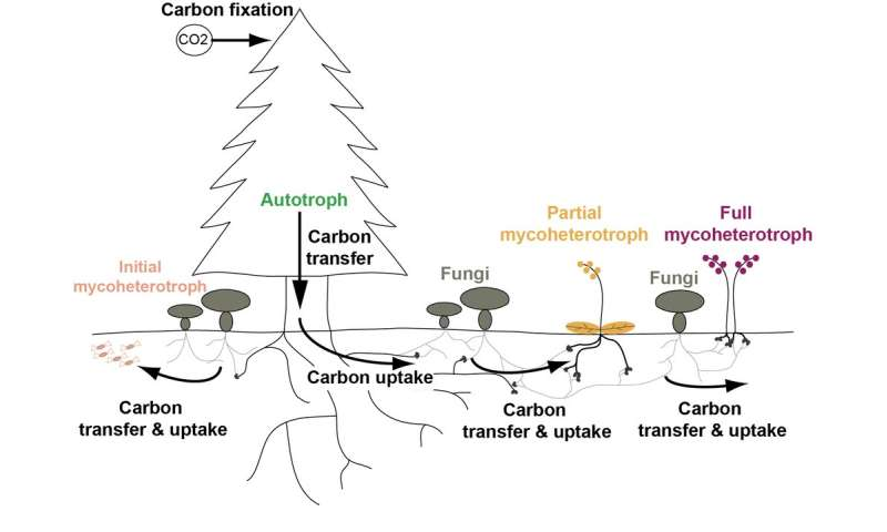 Partial mycoheterotrophs: The green plants that feed on fungi