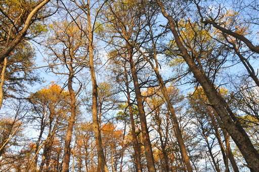 Pine-killing southern beetle may be more deadly in North