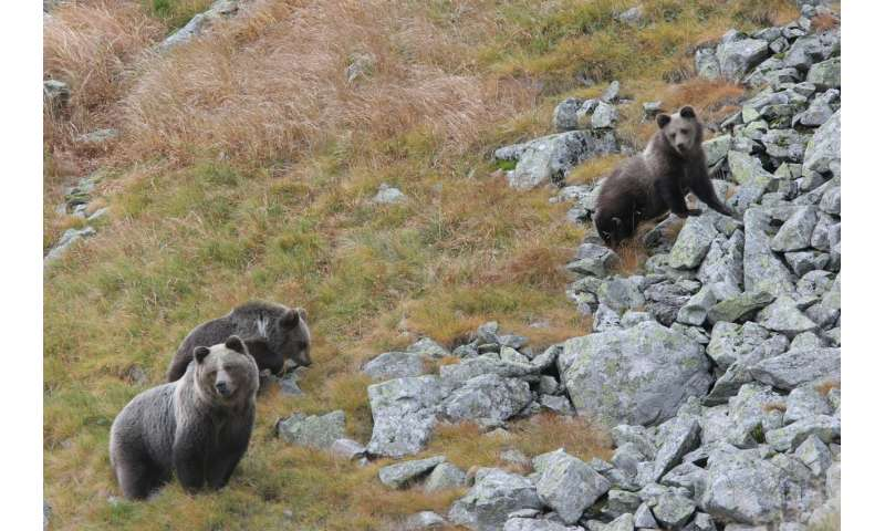 Plenty of habitat for bears in Europe