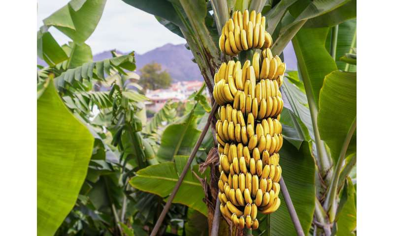 Prehistoric people started to spread domesticated bananas across the world 6,000 years ago