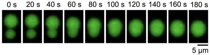 Protein droplets keep neurons at the ready and immune system in balance