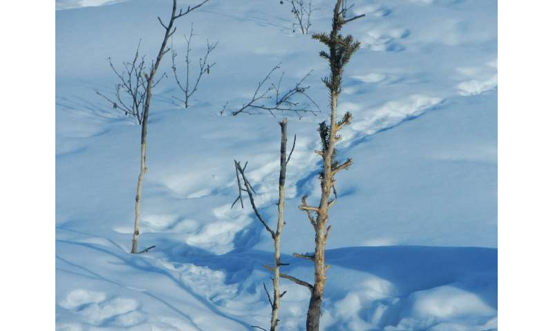 Race across the tundra—white spruce vs. snowshoe hare
