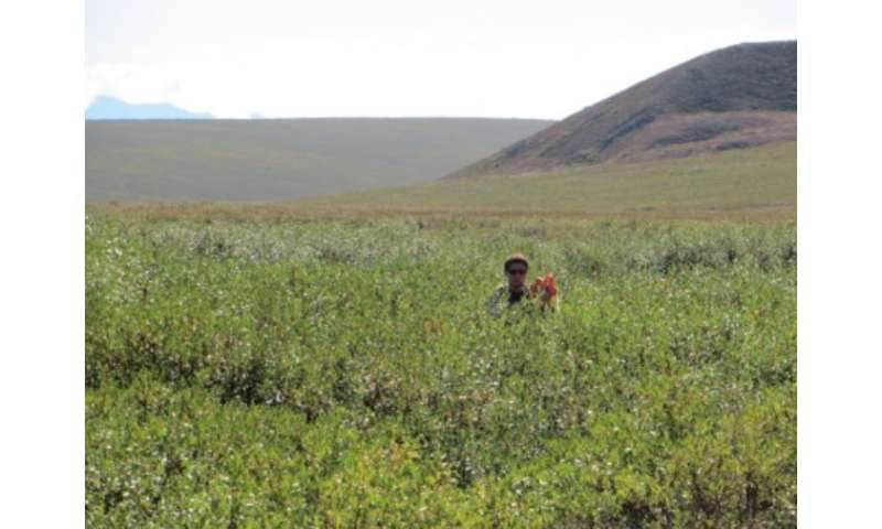 Research brief: Shifting tundra vegetation spells change for arctic animals