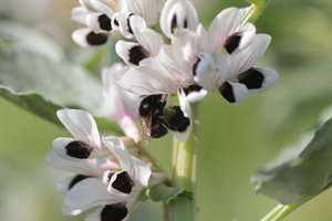 Researchers optimise broad beans for bees