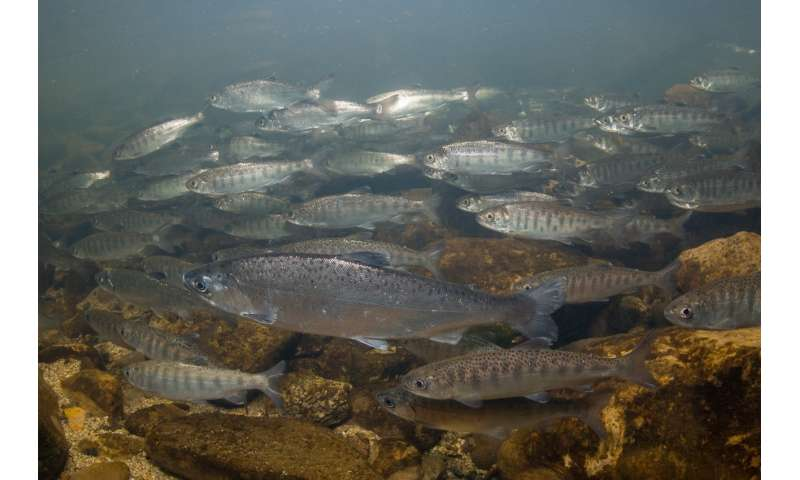 Salmon may lose the ability to smell danger as carbon emissions rise