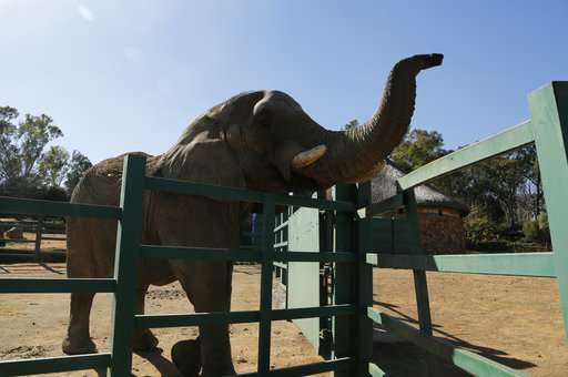 Should Johannesburg Zoo's last elephant stay or go?