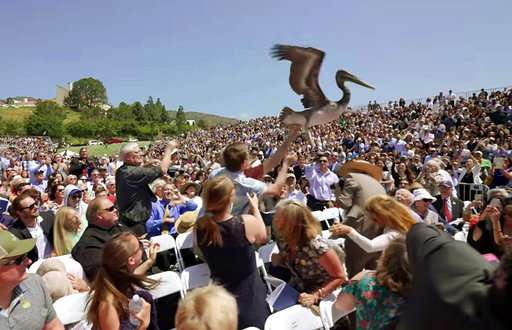 Sick pelicans mysteriously showing up in Southern California