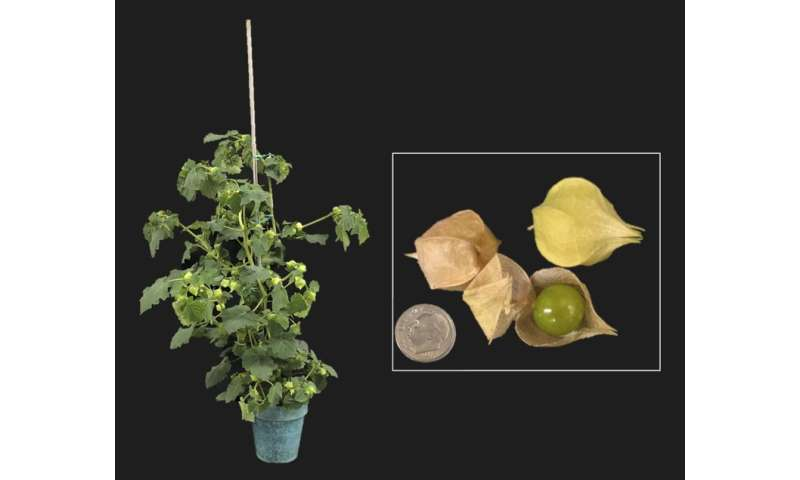 Skipping a few thousand years: Rapid domestication of the groundcherry using gene editing