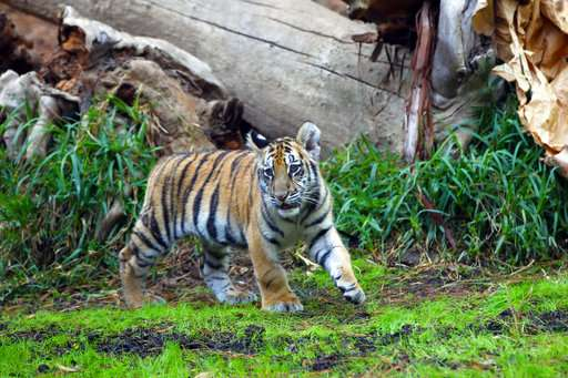 Smuggled tiger undergoes emergency surgery in California