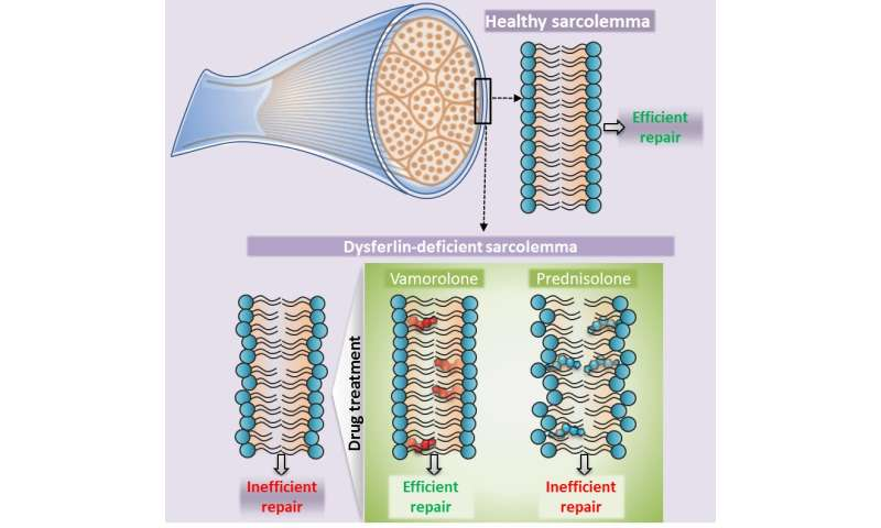 Stabilizing dysferlin-deficient muscle cell membrane improves muscle function