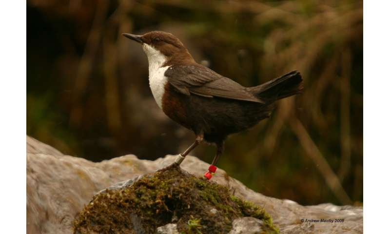 Stress in early life has a lasting impact on male birds' song