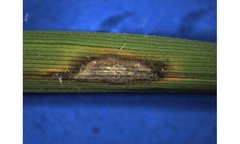 Study could spawn better ways to combat crop-killing fungus