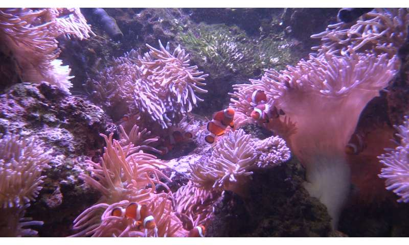 Swapping bacteria may help 'Nemo' fish cohabitate with fish-killing anemones