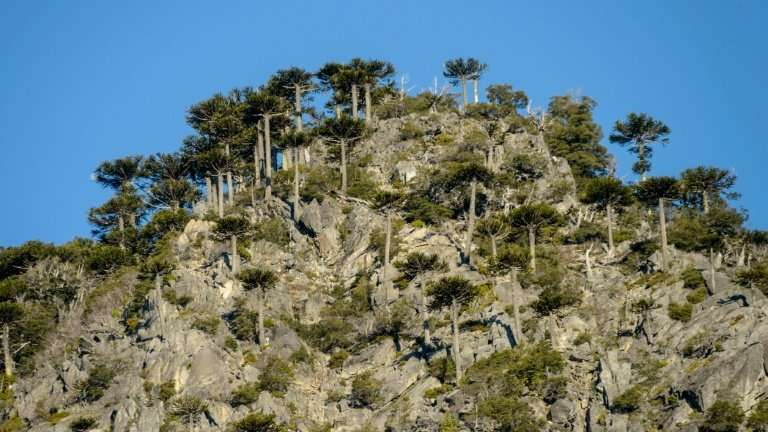 The araucaria araucana trees are still under threat from blight and climate change