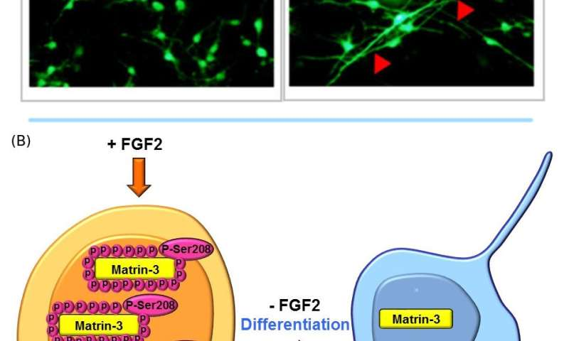 The protein Matrin-3 determines the fate of neural stem cells in brain development