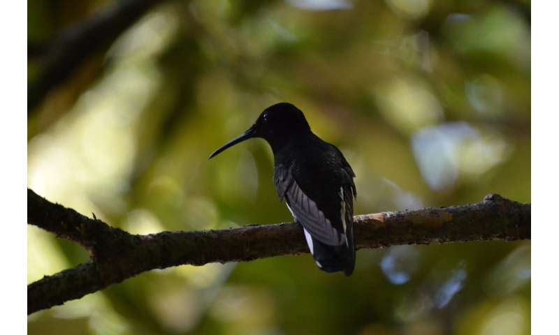These tropical hummingbirds make cricket-like sounds other birds can't hear