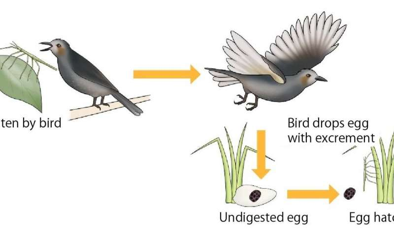 The stick insects that survive being eaten by birds