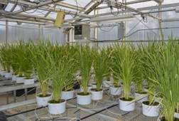 Transferring sorghum's weed-killing power to rice