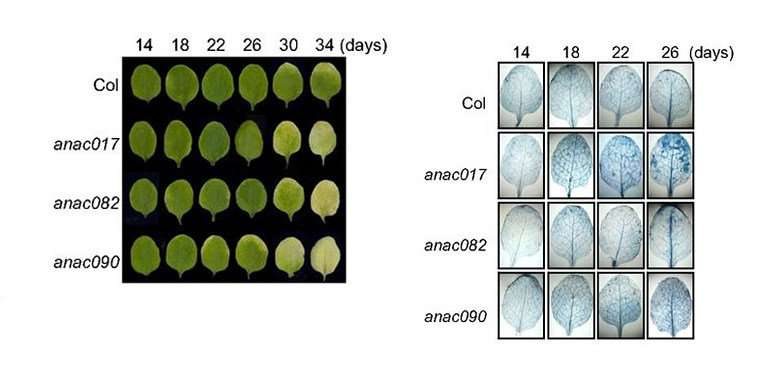 Troika of proteins controls leaf old age onset