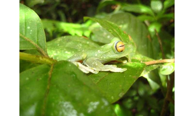 Ranas tropicales que conviven con hongos mortales
