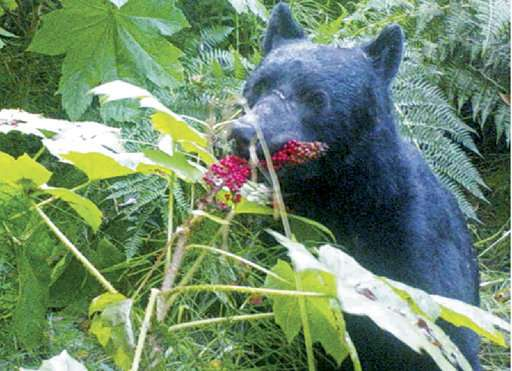 What does a bear do in the Alaska woods? Disperse seeds