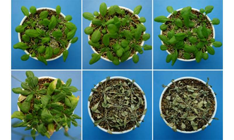 Newly discovered hormone helps keep plants from dehydrating