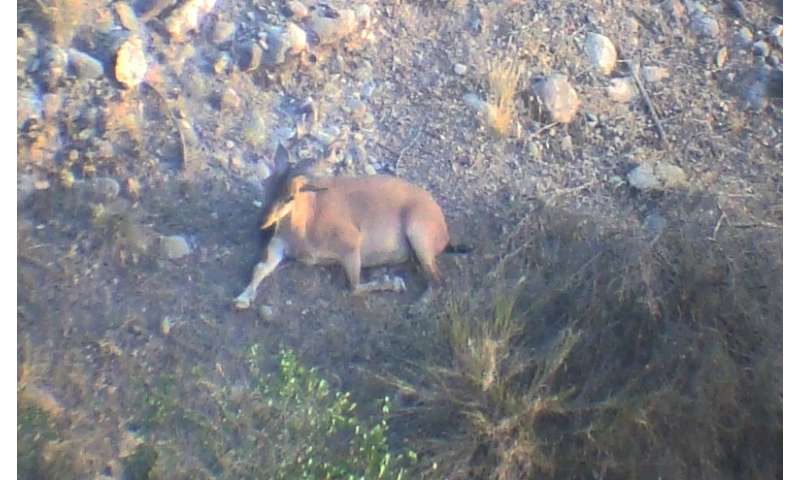 UMass Amherst ecologists, team report sighting rare wild goat species in Afghanistan