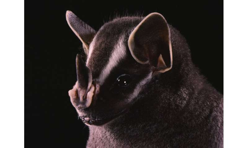 Researchers observe novel bat behavior in Panama
