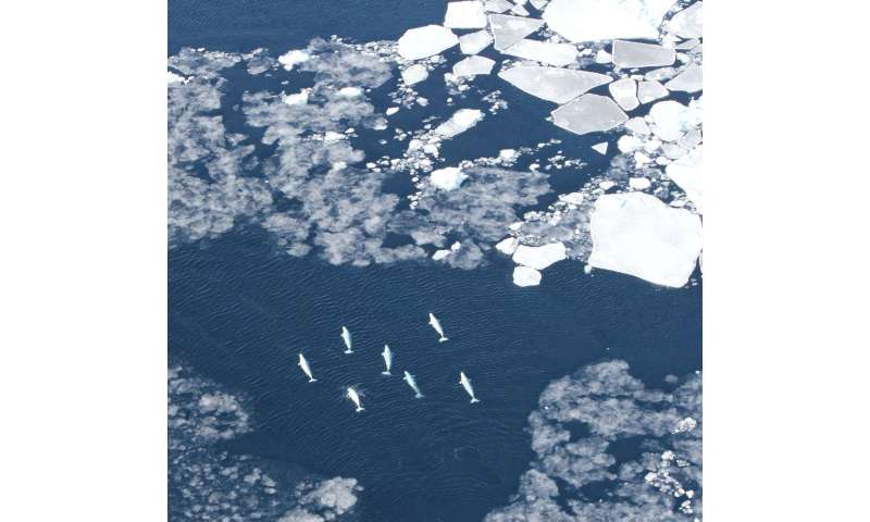 Study identifies which marine mammals are most at risk from increased Arctic ship traffic