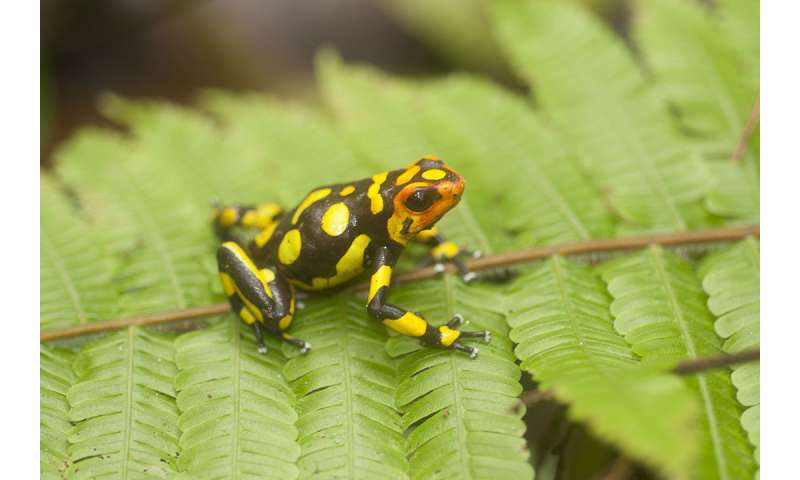 Researchers discover three new species of poisonous Colombian frogs