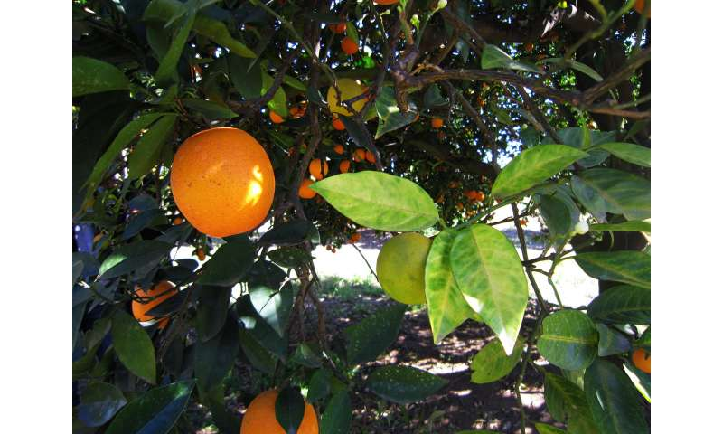 Researchers move toward understanding deadly citrus disease