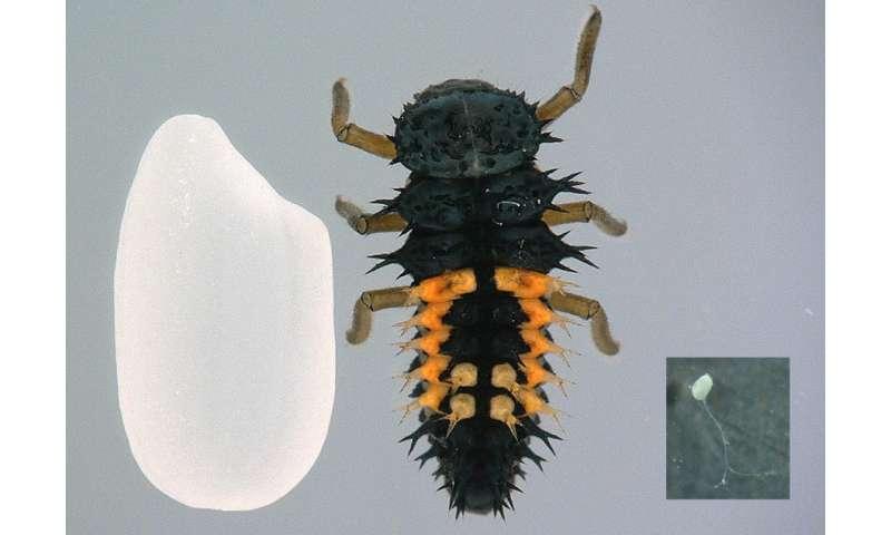 Researchers develop cryopreservation method of ladybird beetle ovaries