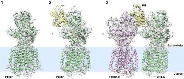 Researchers determine atomic structure of molecular complex associated with birth defects